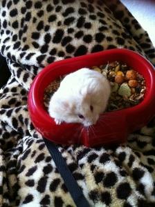 molly hamster2